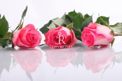 Decora (stredne ružová)
